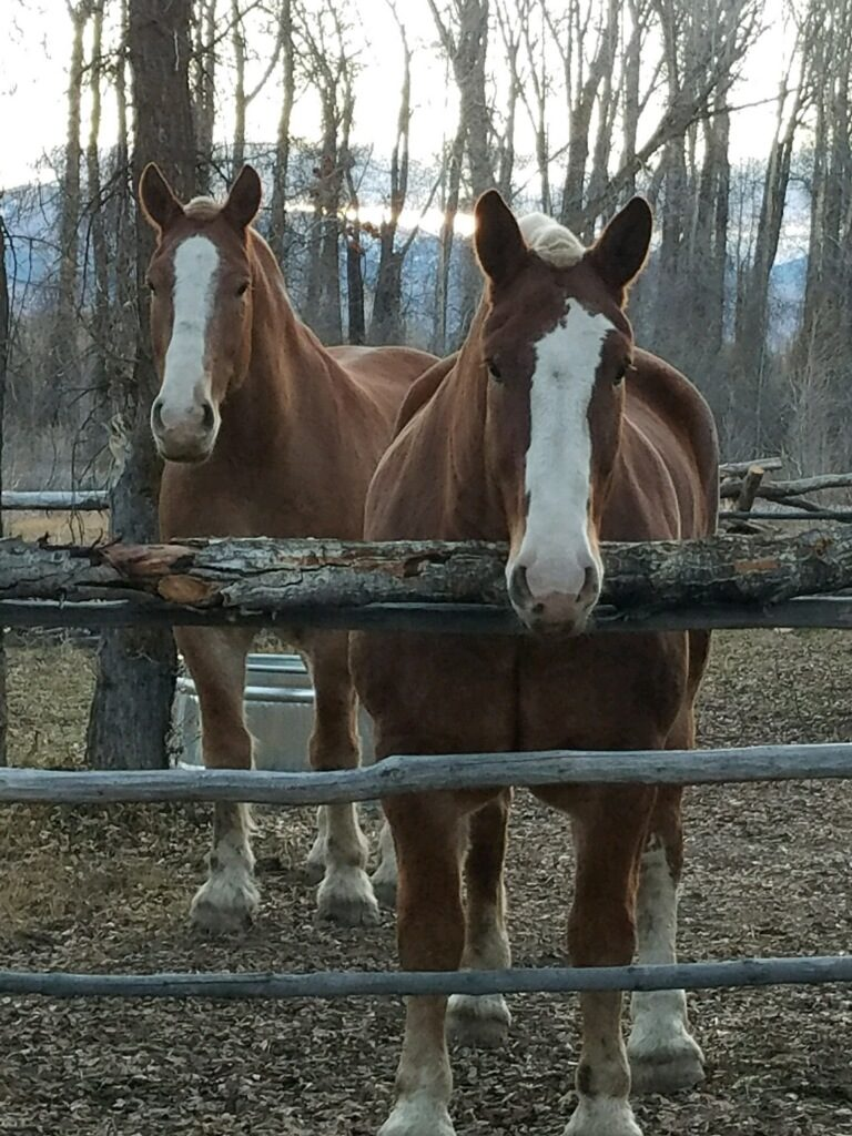 New Horses, Buzz and Don Hanging out at Camp: Jackson Hole Sleigh Rides