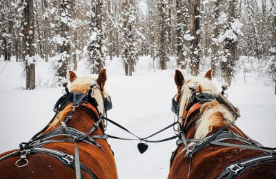 A Beautiful Team Of Draft Horses Pulls A Wooden Sleigh