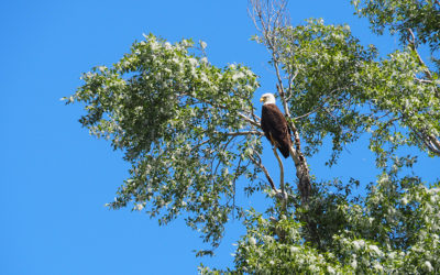 A Bald Eagle Perches On A Cottonwood Tree Along The Banks Of The Snake River In Jackson Hole
